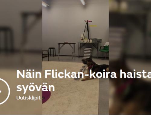 """MTV kotimaan uutiset: Poliisikoira Flickan löysi eläkkeellä uuden uran – """"Se tykkää kuin hullu puurosta"""""""
