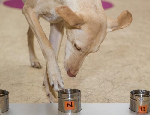 """MTV kotimaan uutiset: Kössi- ja Lucky-koiria koulutetaan haistamaan ihmisten syövät – """"Kössin hajuaisti on 18 miljardia kertaa parempi kuin laitteet"""""""